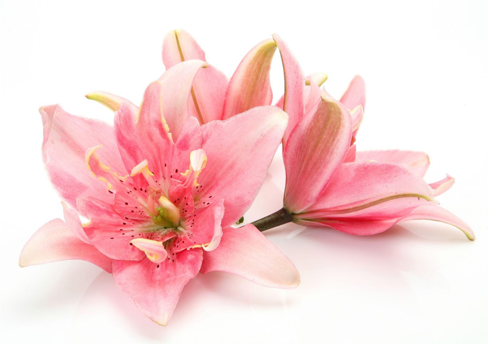 розовая лилия на фотопечати перу